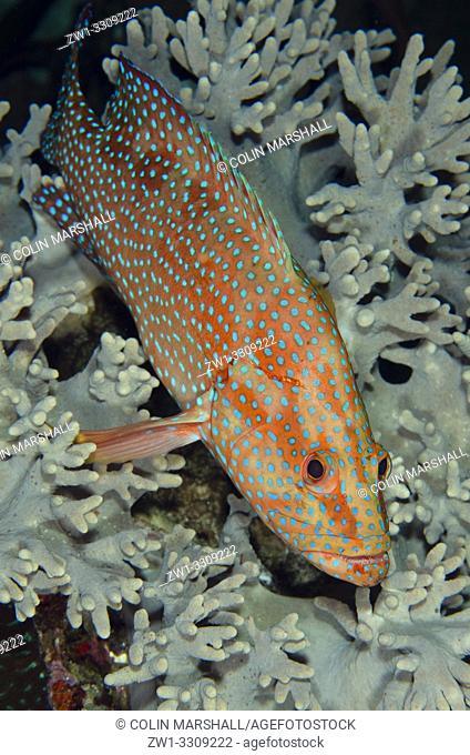 Red Coral Grouper (Cephalopholis miniata) on coral, Whale Rock dive site, Fiabacet Island, Misool, Raja Ampat, Indonesia