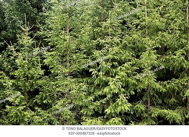 Fir pine trees green mountain texture in Pyrenees Spain