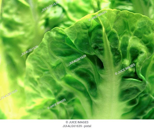 Close-up of one head of romaine lettuce