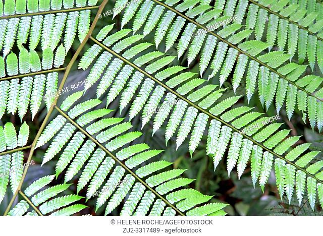 Close-up view of tree fern, Guadeloupe, Caribbean islands, France