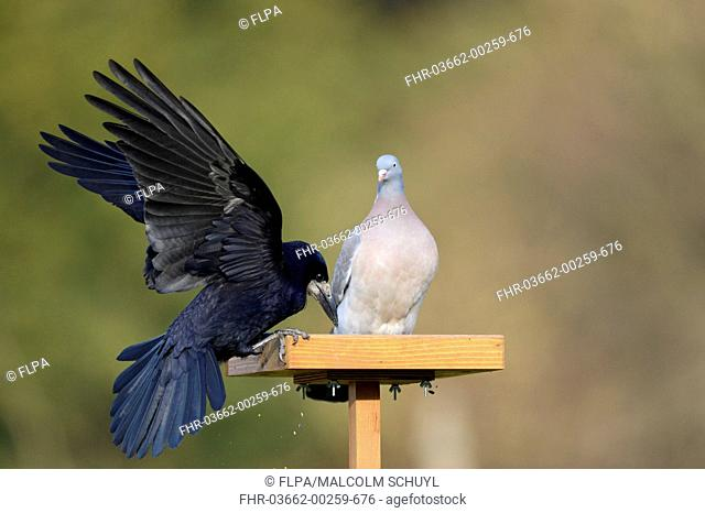 Rook (Corvus frugilegus) adult, with wings spread, facing Wood Pigeon (Columba palumbus) adult, competition for food on birdtable, Oxfordshire, England, March
