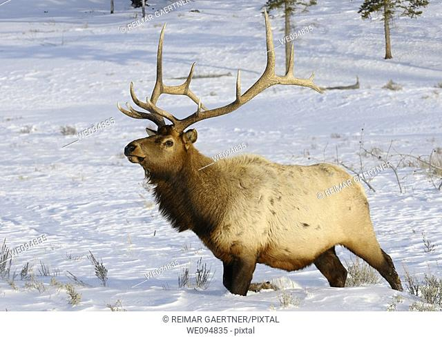 Mature bull elk with antlers walking in deep snow at Blacktail Deer Plateau Yellowstone National Park
