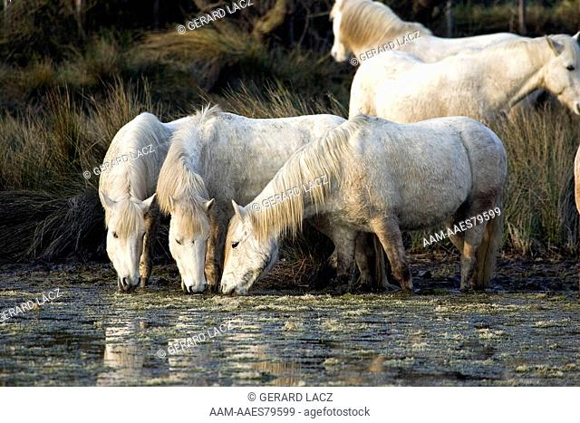 Camargue Horse, Herd Drinking In Swamp, Saintes Marie De La Mer In The South Of France