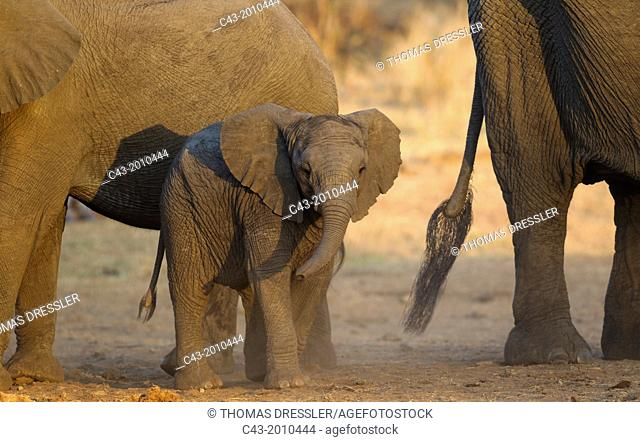African Elephant (Loxodonta africana) - Cow (on the right) with two different aged calves, being relaxed. Kruger National Park, South Africa