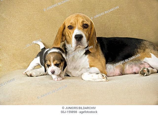 female Beagle dog and puppy