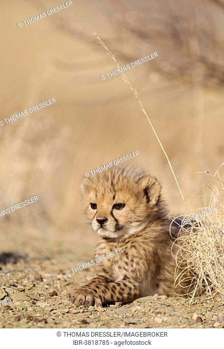 Cheetah (Acinonyx jubatus), resting male cub, 41 days, captive, Namibia