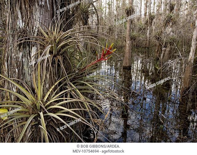 Cardinal Airplant, Florida bromeliad / Wild-pine. Attractive, large epiphytic bromeliad, also grown in gardens (Tillandsia fasciculata)