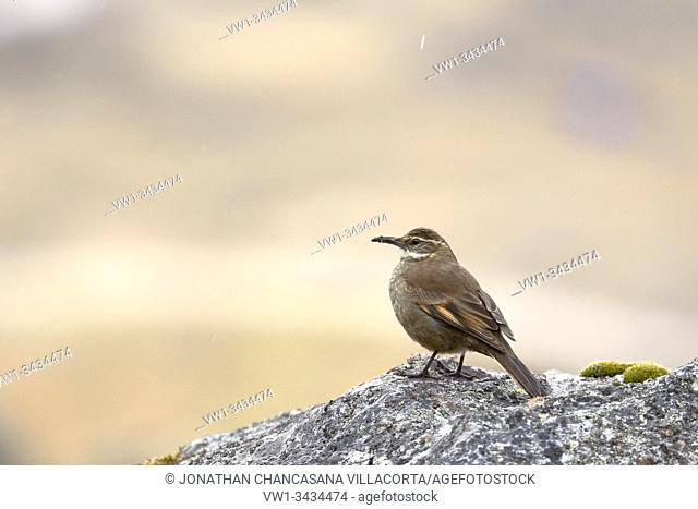 Beautiful specimen of Royal cinclodes (Cinclodes aricomae) that is in critical danger of extinction, perched on a rock in its natural environment