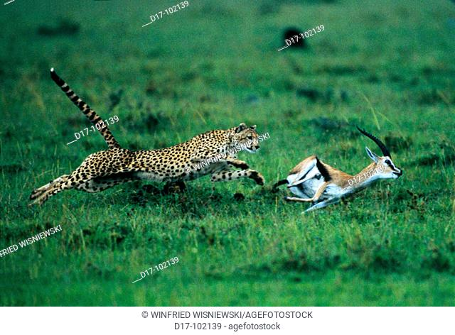 Cheetah (Acinonix jubatus) chasing Thomson's Gazelle (Gazella thomsoni). Masai Mara. Kenya