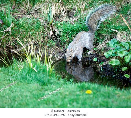 Grey Squirrel drinking