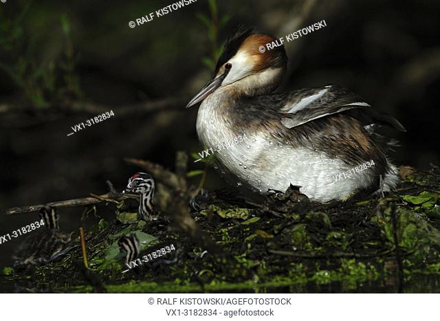 Great Crested Grebe ( Podiceps cristatus ) sits on its nest together with precocial juveniles in secretly atmosphere