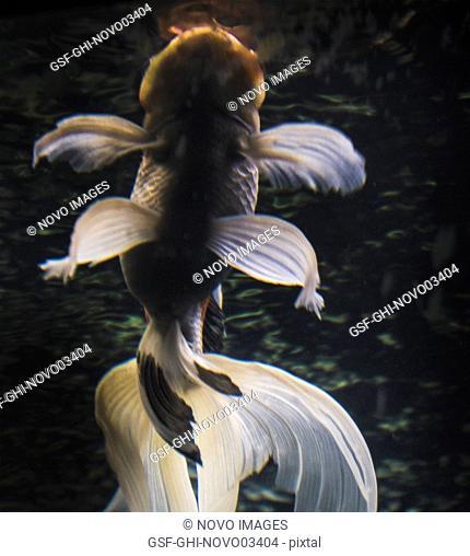 Low Angle View of Oranda Goldfish