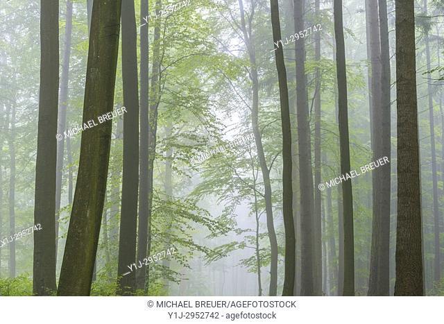 Beech forest on misty morning, Nature Park, Spessart, Bavaria, Germany, Europe