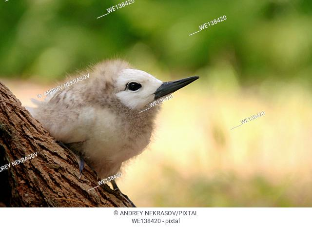 Fairy, White Tern Bird or holy ghost bird (Gygis alba) baby, Denis island, Seychelles