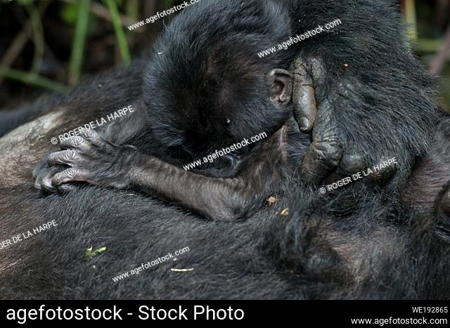 Mountain gorilla (Gorilla beringei beringei) baby. Bwindi Impenetrable Forest. Uganda
