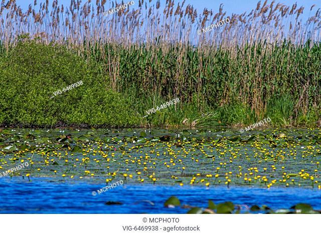 Teichrosen (Nuphar lutea) im Donaudelta - 14/05/2016