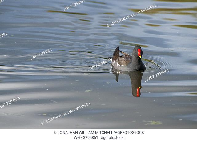 SCOTLAND Perth -- 04 Oct 2014 -- Moorhen ( Gallinula chloropus ) in a pond in Perth Scotland UK -- Picture by Jonathan Mitchell/Atlas Photo Archive