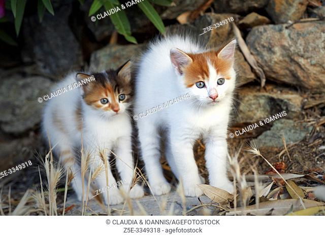 Two kittens are standing outdoors side by side being scared and arching their backs