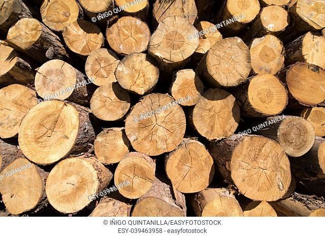 background of a pile of wooden logs, big trunks of tall trees cut, stacked