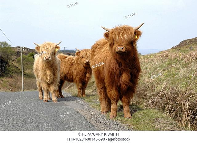 Highland Cattle, three calves, standing at edge of road, Isle of Mull, Inner Hebrides, Scotland, may