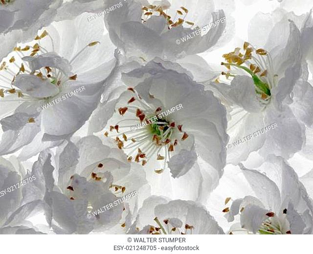 sour cherry blossoms (Prunus cerasus Rhexii)
