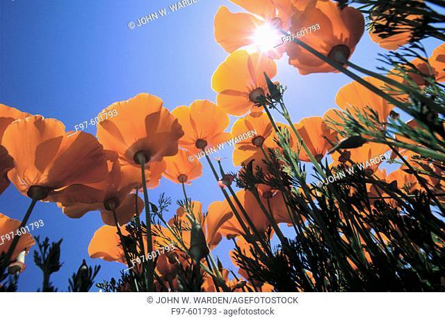 California Poppy fields. Oregon. USA