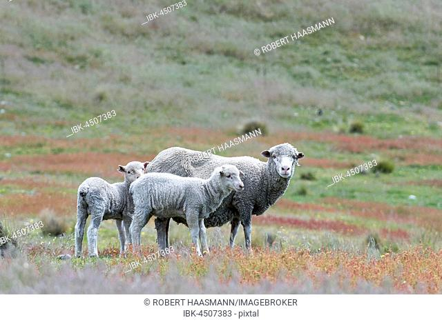 Sheep (Ovis orientalis) on pasture, mother with two lambs, Mackenzie Country, South Island, Southland, New Zealand