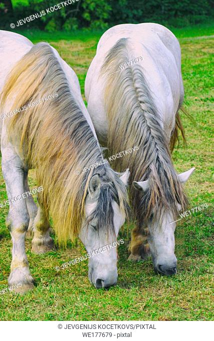 two white horses with coiffed mane graze on green grass, muzzle down