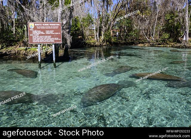 Florida Manatee Sanctuary, Trichechus manatus latirostris, Three Sisters, Crystal River, Florida, USA