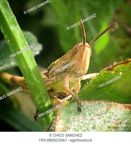 A grasshopper perches on a green plant in Prado del Rey, Sierra de Cadiz, Andalusia, Spain