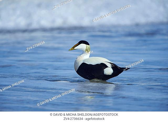 Close-up of common eider (Somateria mollissima) in spring (april) on Helgoland a small Island of northern Germany