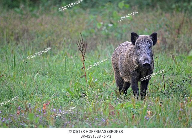 Wild boar (Sus scrofa), sow, standing alert in the grass, southern Hungary