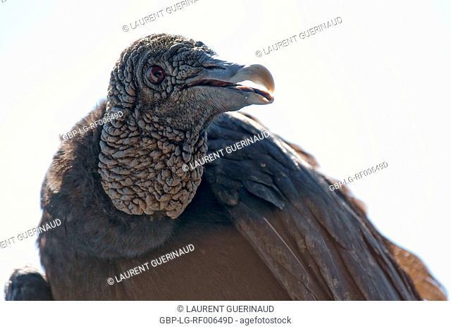 Animal, Bird, Vulture-of-head-black, Horto Florestal Park, São Paulo, Brazil