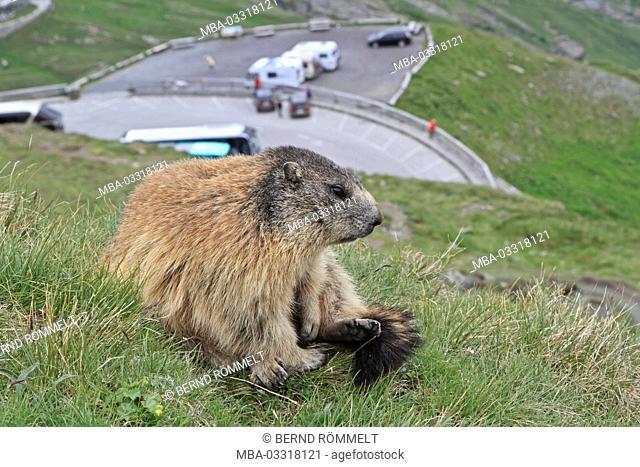 Austria, Carinthia, High Tauern (Hohe Tauern), High Tauern National Park, alp groundhog, Marmota marmota