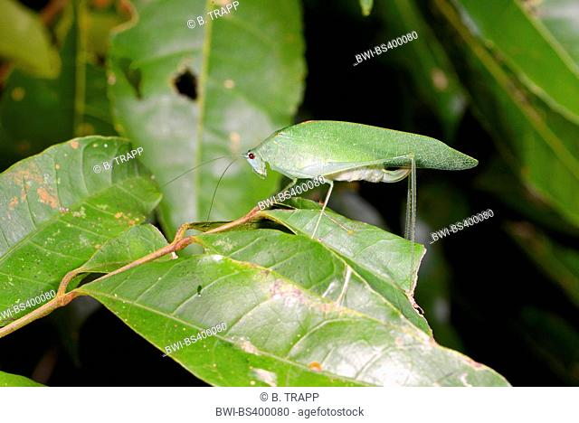 grasshopper in the tropical rainforest in Madagascar, Madagascar, Nosy Be, Lokobe Nationalpark