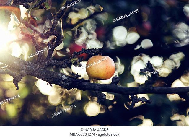 Ripe apples on the apple tree