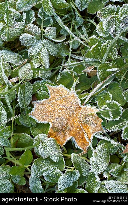 Hoar-frost on a fallen leaf and green grass