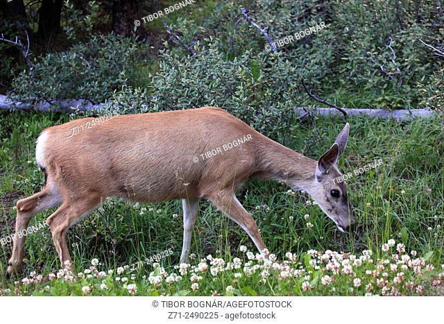 Canada, Alberta, Jasper National Park, mule deer, odocoileus hemionus,