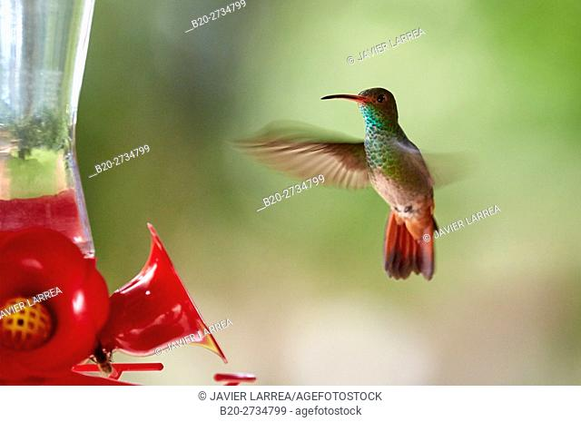 Colibri, Hummingbird, Trochilinae, Pereira, Risaralda, Colombia, South America