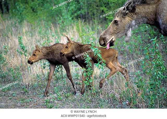 Cow moose Alces alces grooming one of her twin calves, Denali National Park, Alaska. Hairless patch on mother's shoulder probably due to scratching because of...