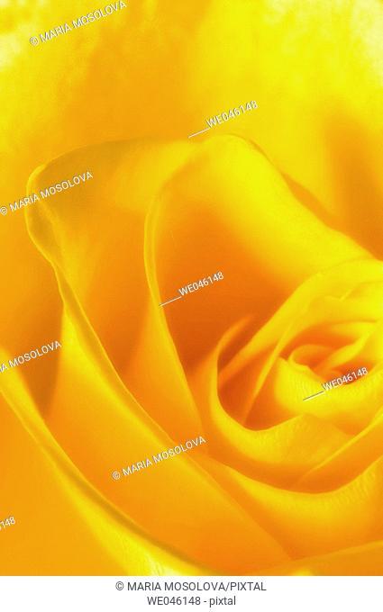 Yellow Rose Close-up. Rosa hybrid, February 2005, Maryland, USA