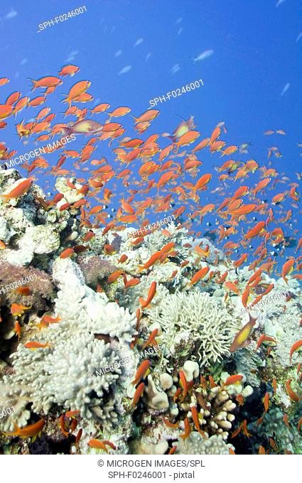 Large school of gold fish swimming over corals. Wide angle, selective focus