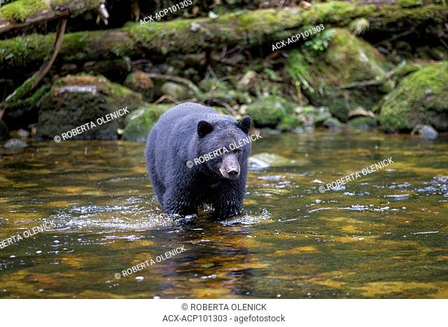 Black spirit bear (Ursus americanus kermodei), along salmon (Oncorhynchus sp.) spawning creek, Great Bear Rainforest, British Columbia, Canada
