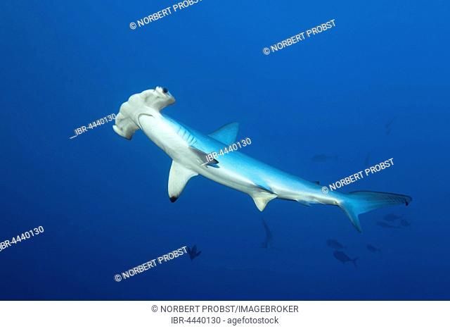 Scalloped hammerhead shark (Sphyrna lewini) swimming in open sea, Red Sea, Egypt