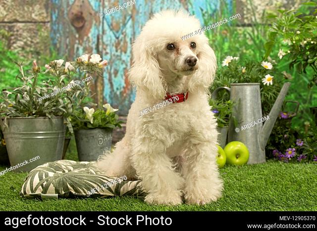 Poodle outdoors in the garden