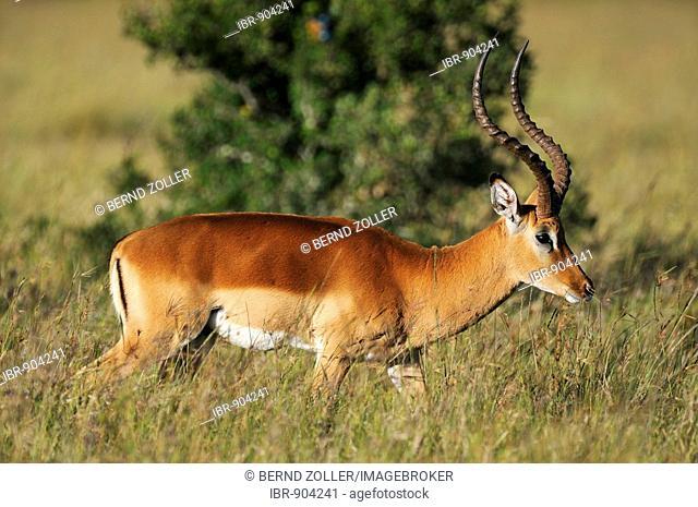 Impala (Aepyceros melampus), buck, Sweetwater Game Reserve, Kenya, Africa