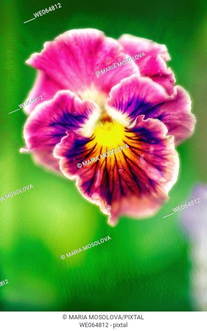 Ruffled Pansy. Viola x wittrockiana. June 2006, Maryland, USA