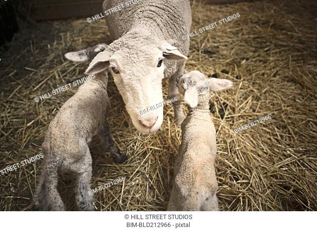 Sheep standing over lambs in barn