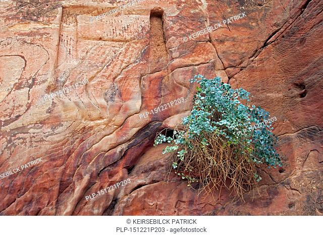 Silver-blue caper bush (Capparis cartilaginea) and carvings in sandstone rock face in the ancient city of Petra in southern Jordan