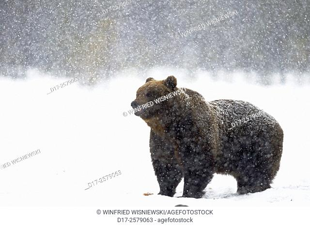 European brown bear (Ursus arctos) in a snowstorm on a moor with pine trees. Finland